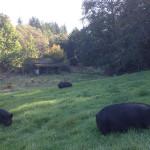 pasture-pigs