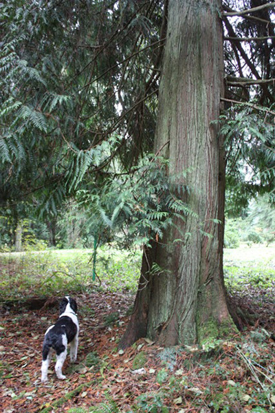 Cedar, a Respite for walkers on trails east of Langley Woodmen Cemetery