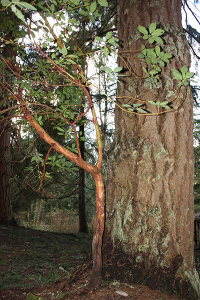Sturdy pine provides shelter for young Madrona growing at the Whidbey Institute in Clinton.