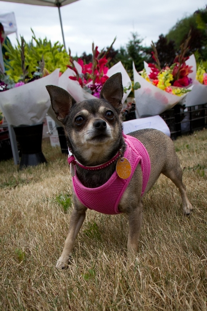 Plenty of dogs make their way around the market place, even some well-dressed tykes like this sweet girl.