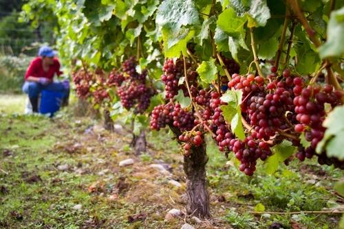 Winery Susan Wentzel 5 (500x334)