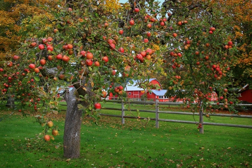 Millman Road. Fall Apples (500x334)