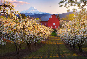 """""""Field of Cherry Blossoms""""  by Lijah Hanley"""