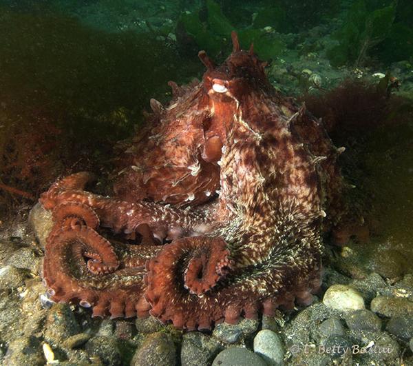 Juvenile Giant Pacific Octopus (Octopus dofleini)