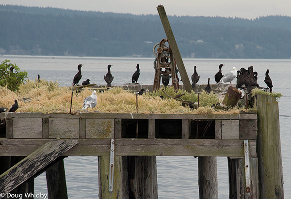 08_DWhidbey_Birds-on-a-Pier