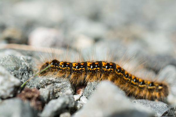 The ubiquitous tent caterpillar (photo by Jan Shannon)