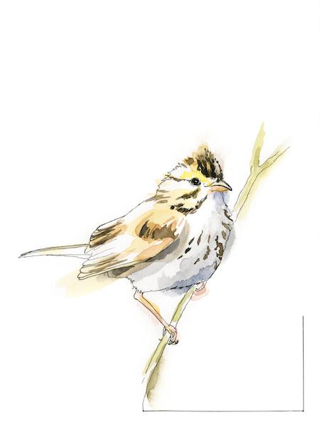 Savanna Sparrow Frances Wood for WLM  copy