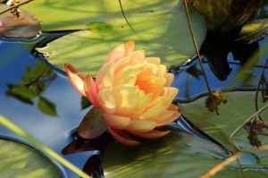 A pond filled with water lilies graces the grounds of the Northwest Language Academy (photo credit Martha McCartney)