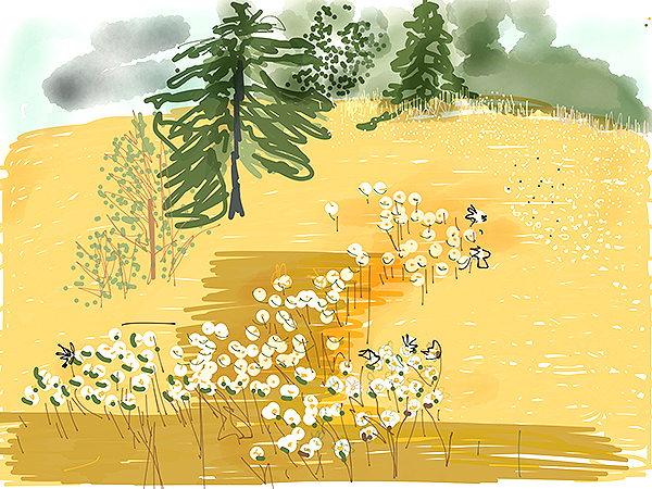 Daisies in the Field  (sketch by Siri Bardarson)