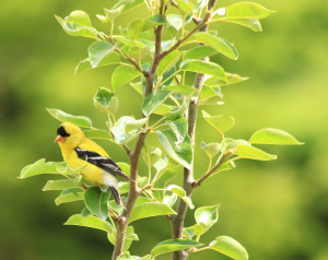 A goldfinch lends color to the orchard planting of John de Wit  (photo by Martha McCartney)