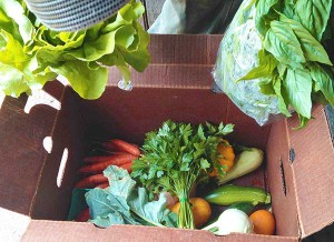 """Our CSA this week included basil, arugula, tomatoes, carrots, zucchini, lettuce, cucumbers.""  (photo by Vicky Brown)"
