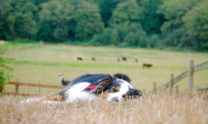 Sami sleeping, with the cows in the pasture behind (photo by Karen Krug)