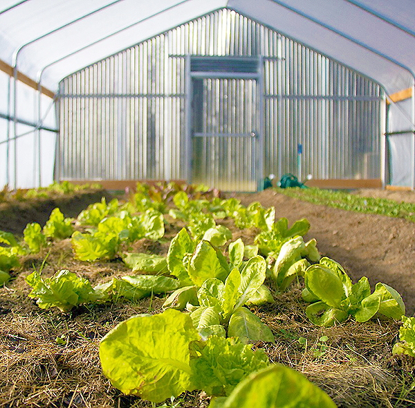 Hoop house with lettuce