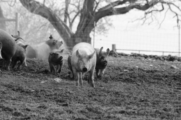 fifteen . Pigs on Penn Cove (2) (640x427)