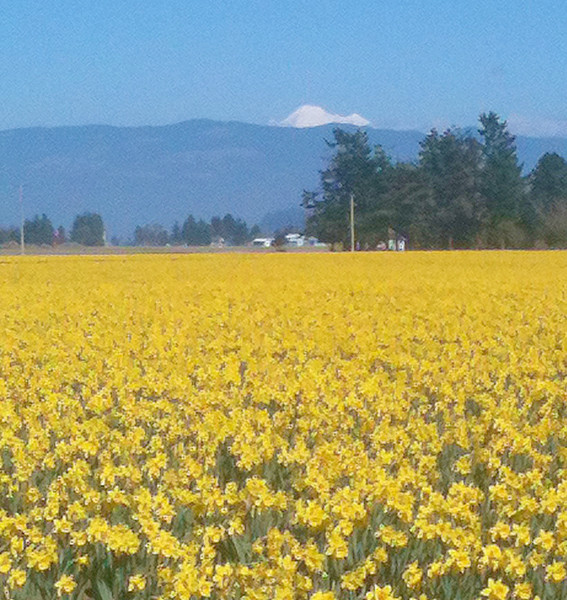 Fields of daffodils with Mt. Baker in the distance, near La Connor  (photo by Les McCarthy)