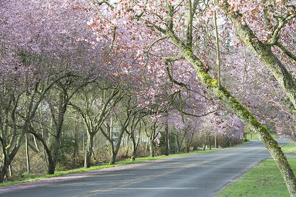 Flowering plum trees on both sides of the north end of 3rd Street in Langley  (photo by Marsha Morgan)