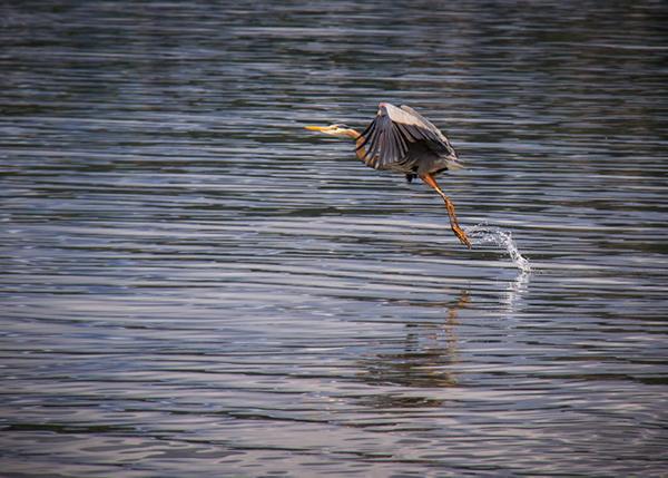 9.Blue Heron, Maxwelton Beach
