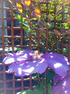 Late Sprng climbing clematis  (photo by the author)