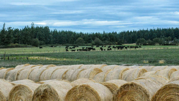 A few of the hundreds of bales of hay grown on the farm to feed the cattle. (photo by Marsha Morgan)