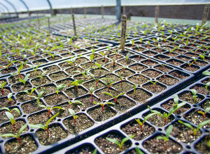 Seedlings get the right start at the Organic Seed Program.   (photo by Marsha Morgan)