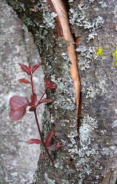 New life emerges below a split in the trunk of a cherry tree, Third St and Brooks Hill Drive, Langley.