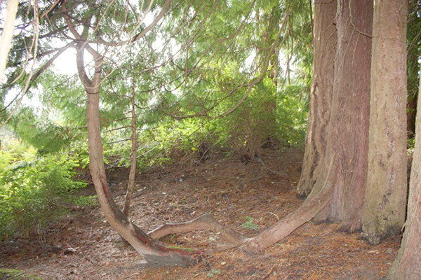 Root cells turn to trunk cells when they reach enough light, creating a new tree on the trails east of Langley Woodmen Cemetery.
