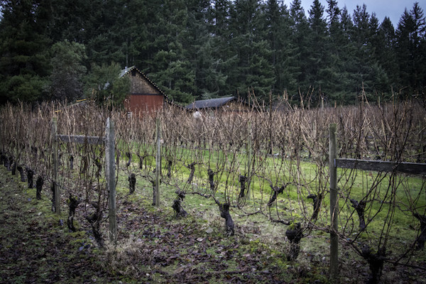 Resting grape vines, Whidbey Winery