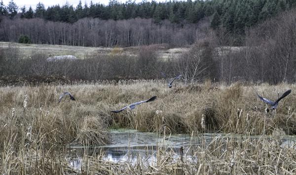 Great blue herons take flight