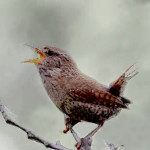 A tiny winter wren (photo from WLM library)