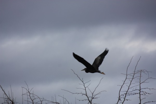 A Great Blue Heron flies solo from his rookery toward Langley's waterfront.