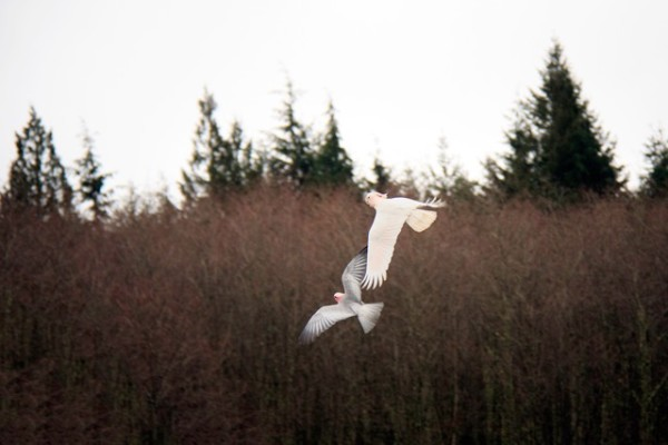 Huey and Angel take flight at the edge of bare January alder forest at Flying Colors Aviary.