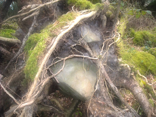 Heart stone rooted in Ireland April 2011 (photo by the author)