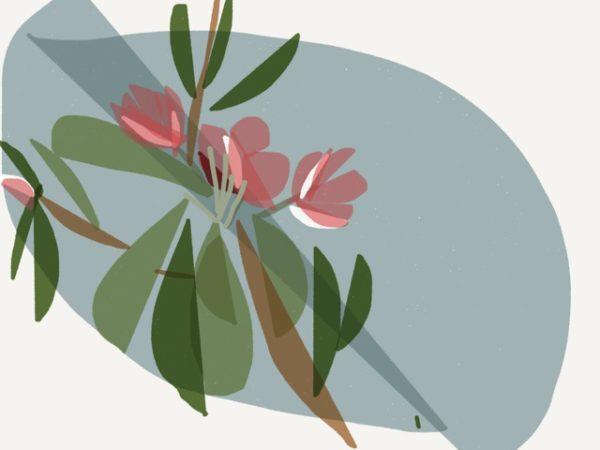 Apple blossoms (image by Siri Bardarsan)