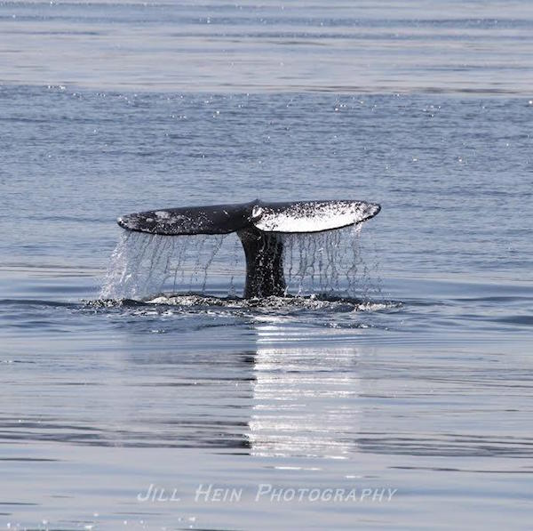 Tail of Gray Whale (photo by Jill Hein)