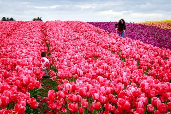 Hide and seek in the tulip rows