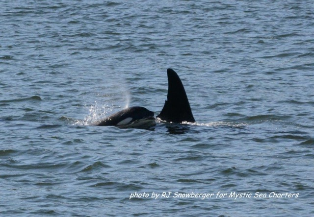 Young J pod orca with female eating chinook in Holmes Harbor (photo by Richard Snowberger)