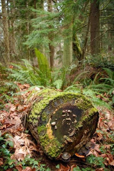 Shelf Mushrooms, fallen tree