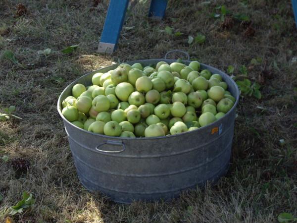 apples 9-26-09 #2