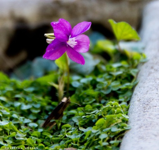 A lone violet pops up between the cracks in a walkway.