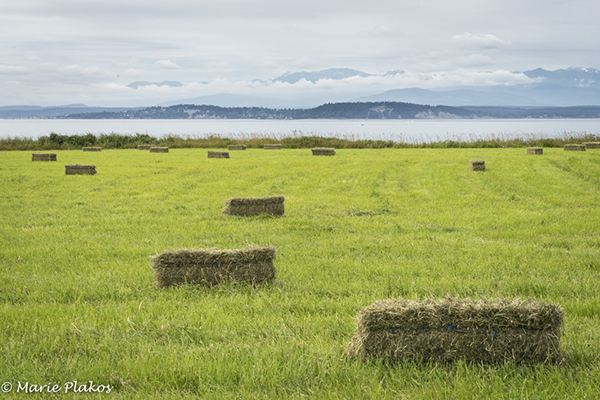 Hay bales dot a field after harvest (photo by Marie Plakos)