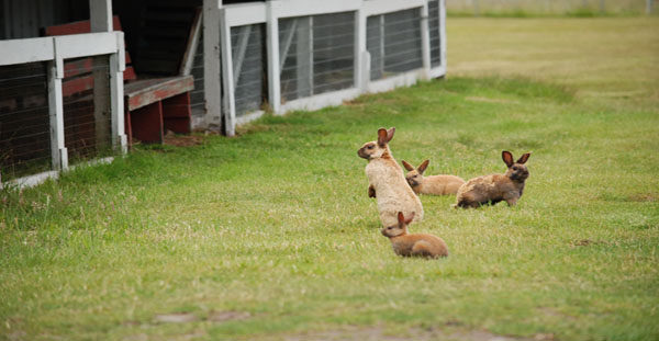 Rabbits, a microcosm of the discussion ahead of the human community (photo by Kelsey Fein)
