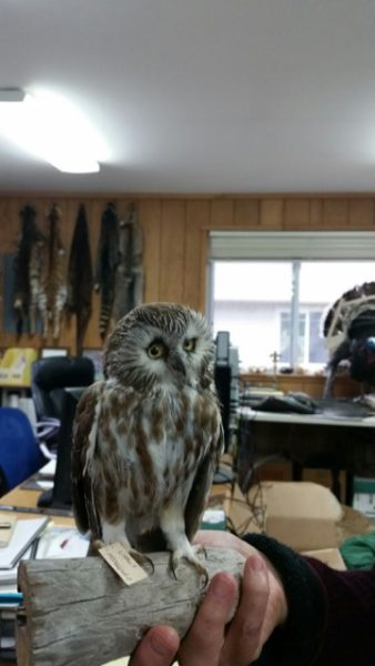 A saw-whet owl preserved and used in education programs: the owl lives in island woods and is only six to seven inches tall (photo by Kate Poss)