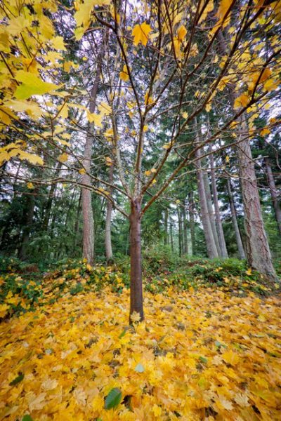 Within our broad swaths of deep evergreen forests, Whidbey Island presents pockets of intense color.