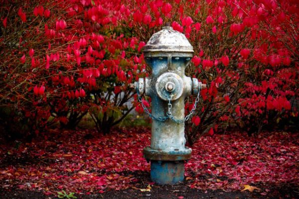 A weathered, worn fire hydrant is magically transformed by the glow of a burning bush (euonymus alatus) at South Whidbey High School.