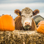 A cow surrounded by pumpkins.