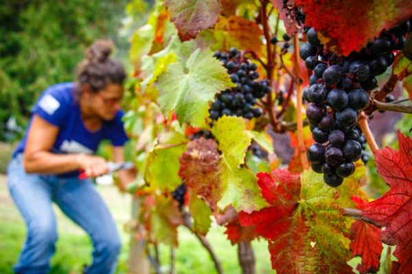 Fall richness provides time for harvesting Pinot Noir at Spoiled Dog Winery.